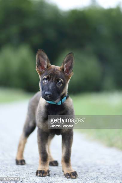 hello puppy - berger belge malinois photos et images de collection