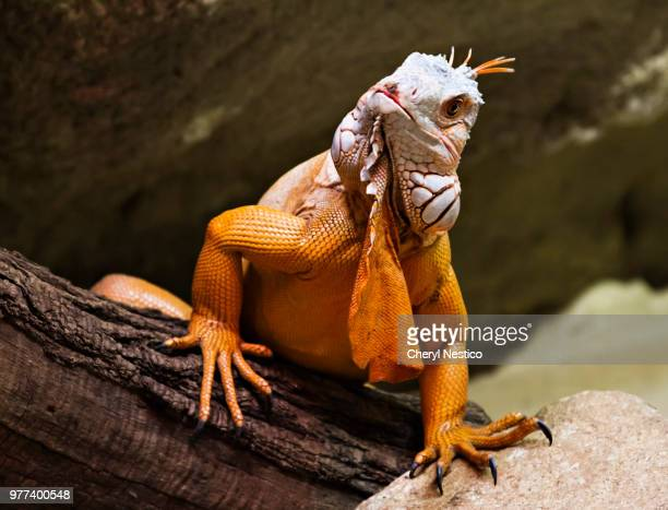 hello there - - land iguana stock photos and pictures