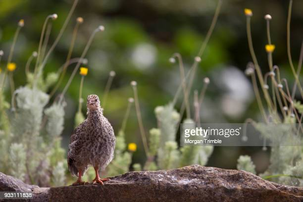 helmeted guineafowl chick, numida meleargris, kirstenbosch national botanical garden, cape town, western cape province, south africa - guinea fowl stock pictures, royalty-free photos & images