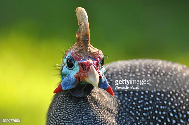 helmeted guineafowl - guinea fowl stock pictures, royalty-free photos & images