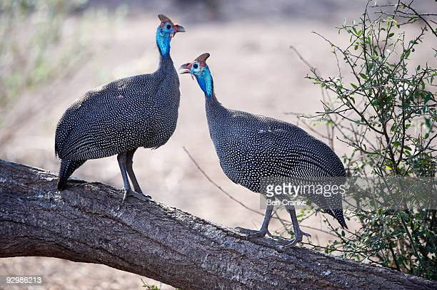 helmeted guineafowl (numida meleagris) - guinea fowl stock pictures, royalty-free photos & images