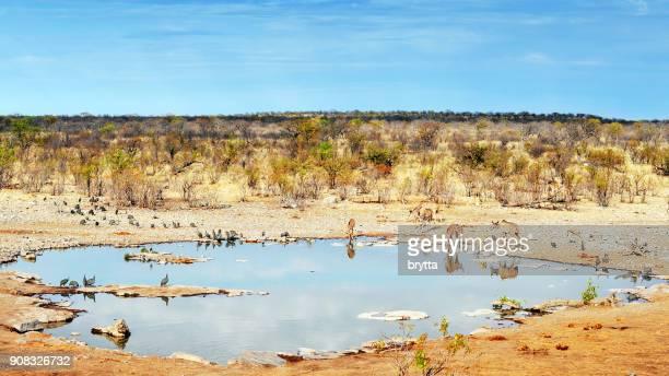 helmeted guineafowls, kudus and some impala drinking at the halali waterhole, etosha national park,namibia - waterhole stock pictures, royalty-free photos & images