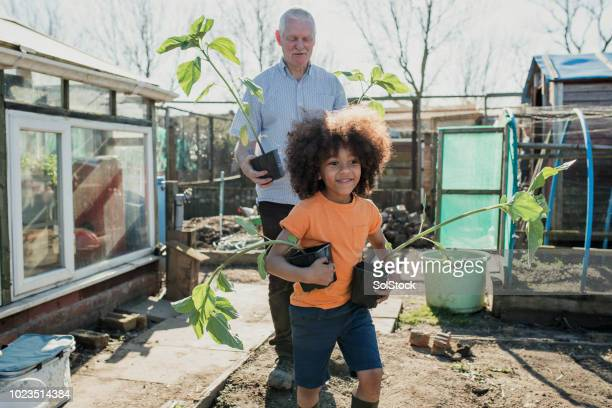 helping grandad in his allotment - british culture stock pictures, royalty-free photos & images