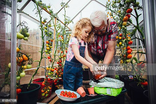 Helping Grandad Plant Tomatoes