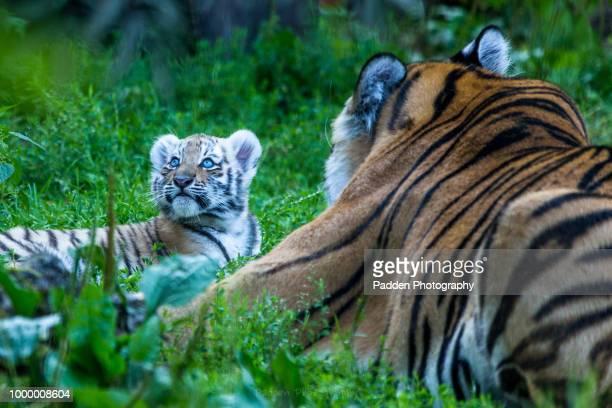 helsinki zoo - sumatran tiger stock pictures, royalty-free photos & images