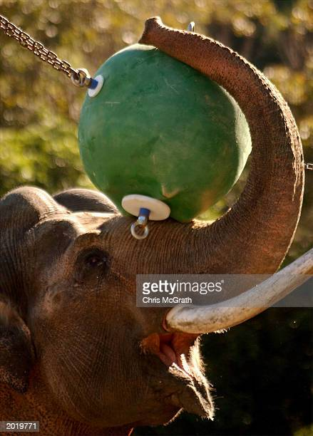 'Heman' an Asiatic Elephant plays with a huge bungy ball at Taronga Zoo May 22 2003 in Sydney Australia Taronga's resident asiatic elephants Heman...