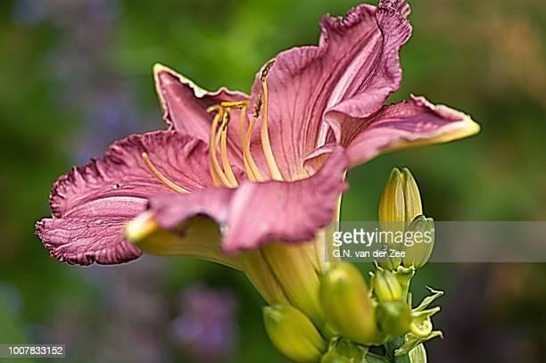 Hemerocallis 'Pink Charm'