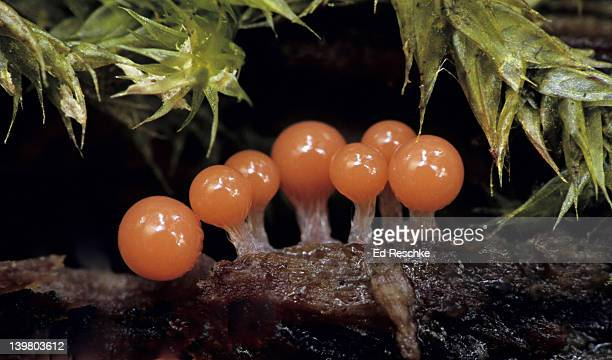 SLIME MOLD. YOUNG FRUITING BODIES, Hemitrichia sp. The fruiting bodies mature into sporangia. Slime molds cannot be identified to species until the fruiting bodies mature.  Myxomycetes (slime molds). Michigan