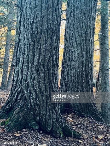hemlock trunks in nova scotia forest - オータムインターナショナル ストックフォトと画像
