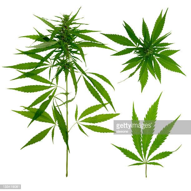 hemp botanic - marijuana stock photos and pictures