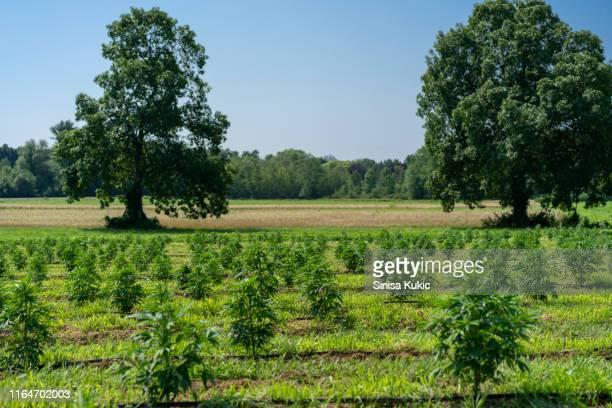 hemp farm - hemp stock pictures, royalty-free photos & images
