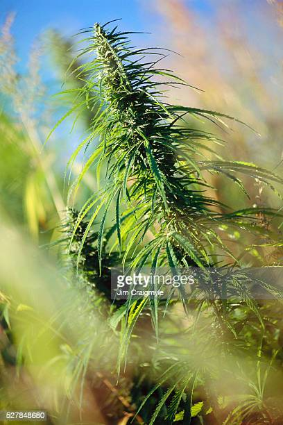 hemp growing in field - jim craigmyle stock pictures, royalty-free photos & images