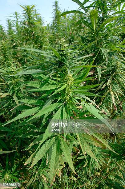 Hemp growing in the ChampagneArdenne region Many products can be made from hemp thread string fabric paper construction and insulation materials fuel...