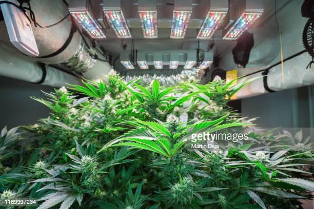 hemp growing indoors hdr - トリコーム ストックフォトと画像