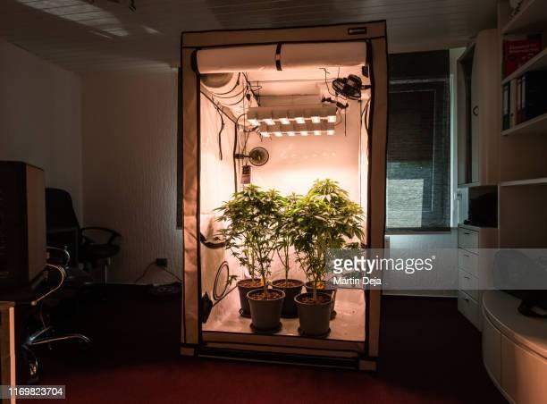 hemp growing indoors - トリコーム ストックフォトと画像