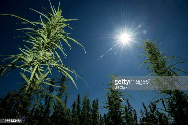 Hemp grows at Murray State Universitys hemp field in Murray Ky on Thursday Sept 5 2019