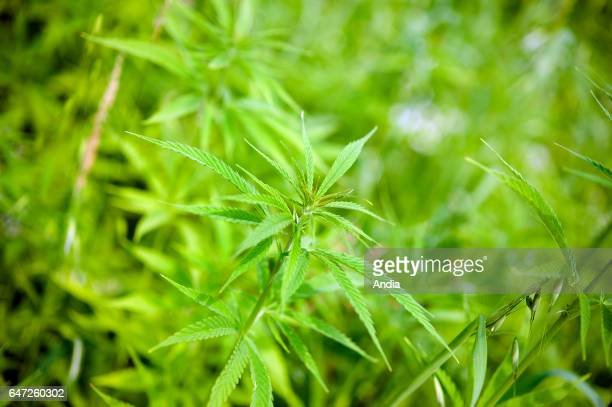 Hemp plantation Hemp is a commonly used term for highgrowing industrial varieties of the Cannabis plant and its products