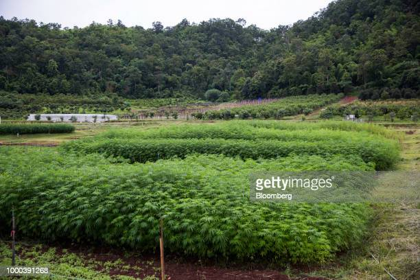 Hemp plants are grown for medical research purposes at the Royal Agricultural Station Pang Da in Samoeng Chiang Mai province Thailand on Friday July...