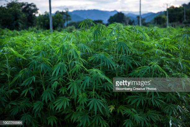 hemp plants are grown for medical research purposes - hemp stock pictures, royalty-free photos & images