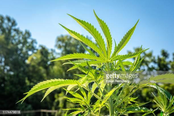hemp production - 繊維 大麻 ストックフォトと画像