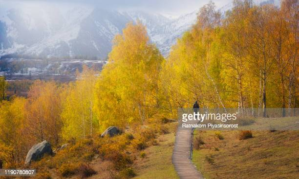hemu village in autumn, golden autumn, xinjiang province, china. - altay xinjiang province china stock pictures, royalty-free photos & images