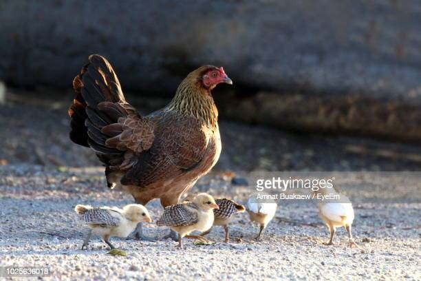 Hen And Baby Chickens On Field