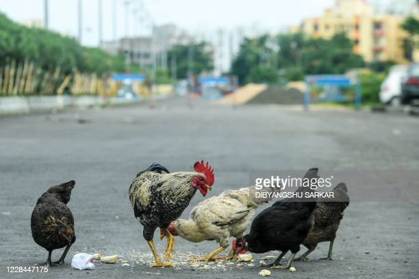 Hen and cocks search for food in the middle of a deserted road during a day-long state-imposed lockdown as a preventive measure against the Covid-19...