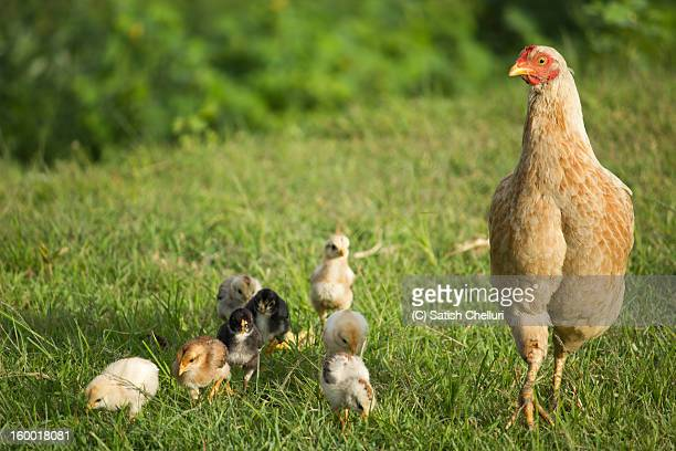 Hen and her family