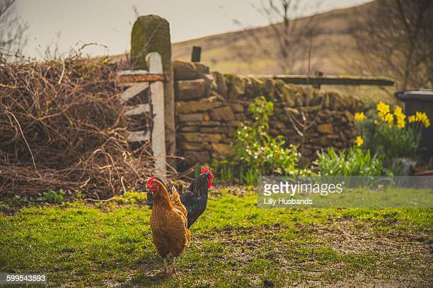 Hen and rooster on farm