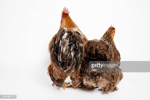 hen and rooster - funny rooster ストックフォトと画像