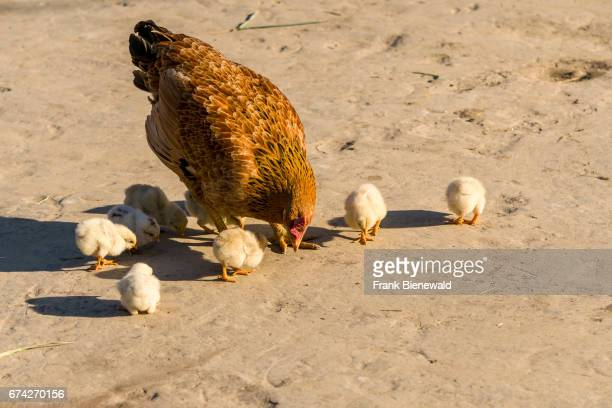 Hen and some small yellow chicks are picking grains in the village Pandavnagar in Chitwan National Park.