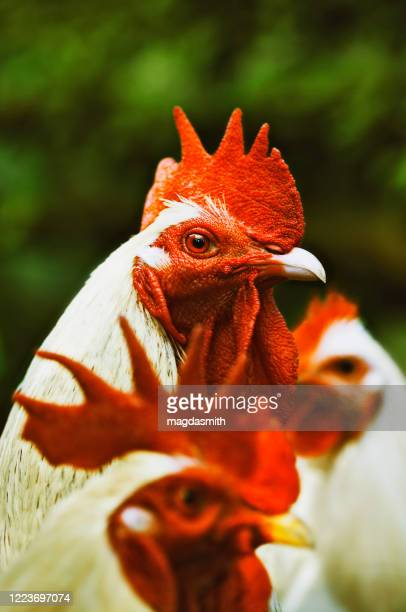 hen and two roosters outdoors - magdasmith stock pictures, royalty-free photos & images