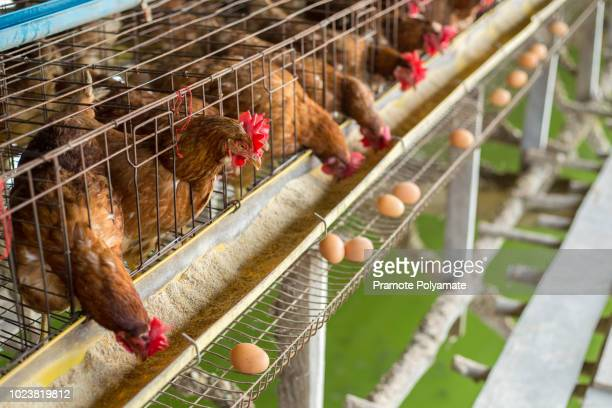 hen, chicken eggs and chickens eating food in farm. - 家畜 ストックフォトと画像