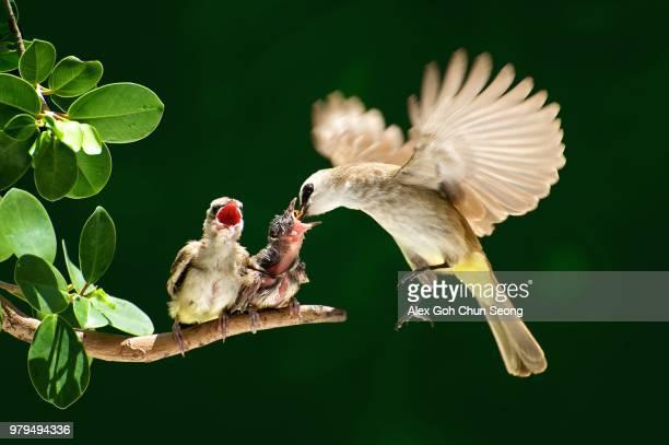 hen feeding her hatchlings - 動物の親子 ストックフォトと画像