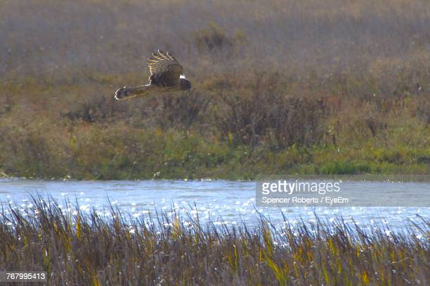 Hen Harrier Flying Over Lake