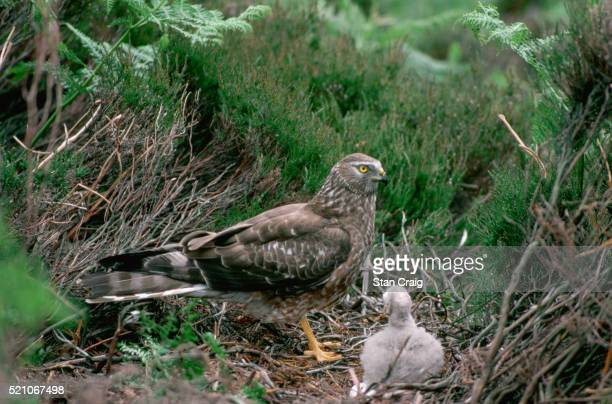 hen harrier with chick - young bird stock pictures, royalty-free photos & images