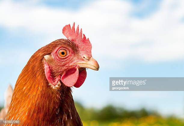 hen headshot - british culture stock pictures, royalty-free photos & images