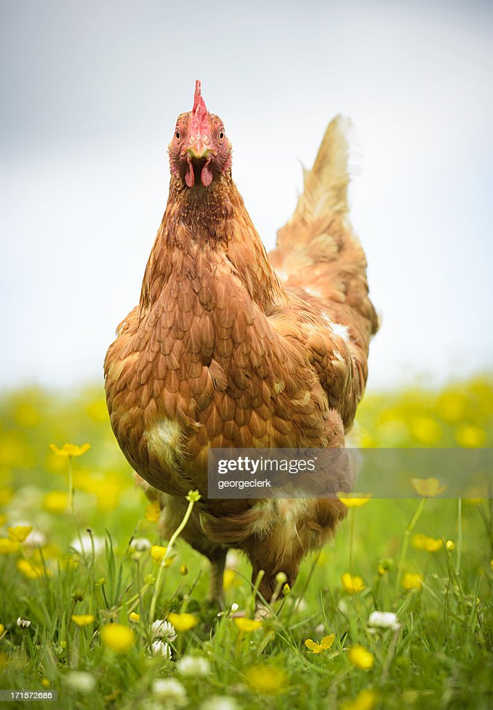 Hen in a Meadow : Stock Photo