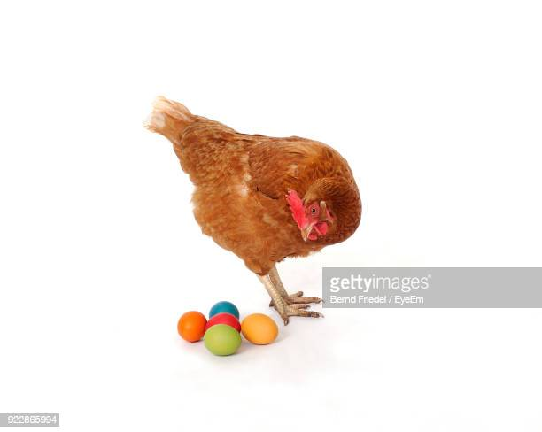 Hen Looking At Colorful Eggs Against White Background
