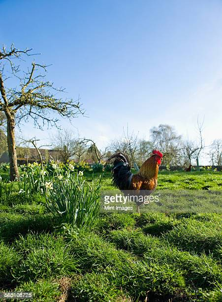 A hen on open ground. Farmhouse in the distance.