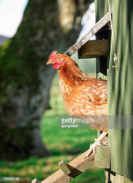 hen peering out of the henhouse - hen stock pictures, royalty-free photos & images
