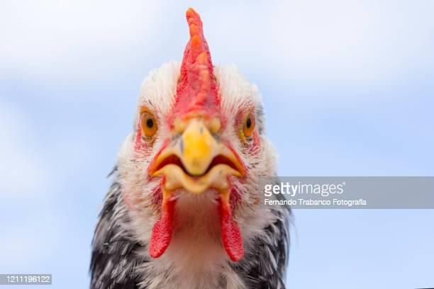 hen portrait - beak stock pictures, royalty-free photos & images