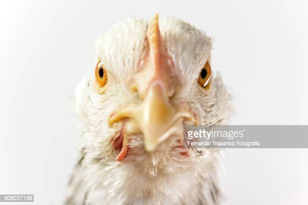 hen portrait - chicken bird stock pictures, royalty-free photos & images