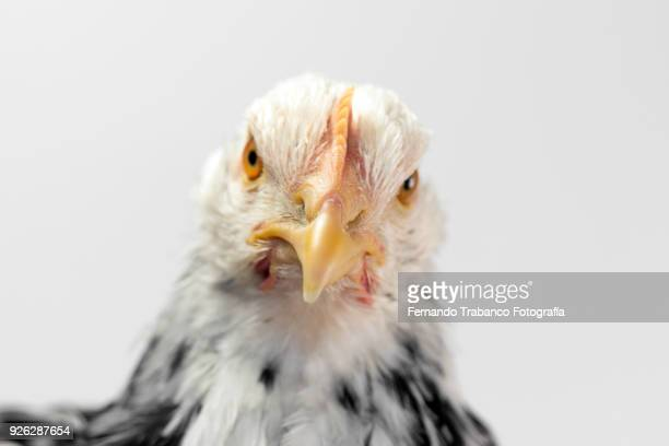 hen portrait - snavel stockfoto's en -beelden