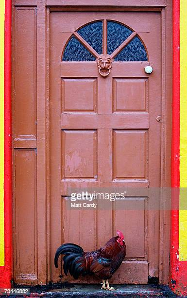 Hen stands in a doorway on February 26, 2007 in Inis Mor, Ireland. The largest of the remote three Aran Islands, with a population of just 1200, had...