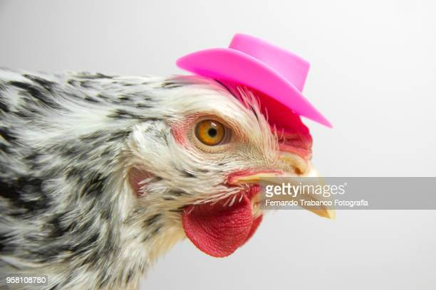 hen with a elegant pink hat - funny rooster stock photos and pictures