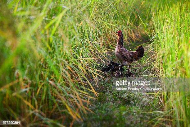 Hen with chicks at Don Det, Laos