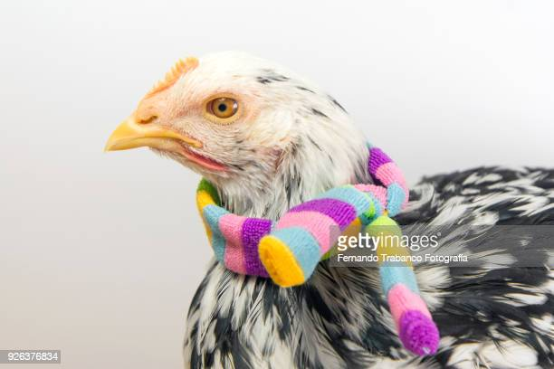 hen with colored scarf - funny rooster stock photos and pictures