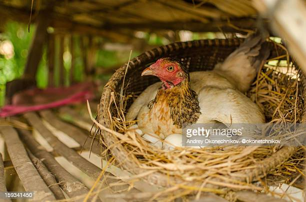 Hen with her eggs in the perch
