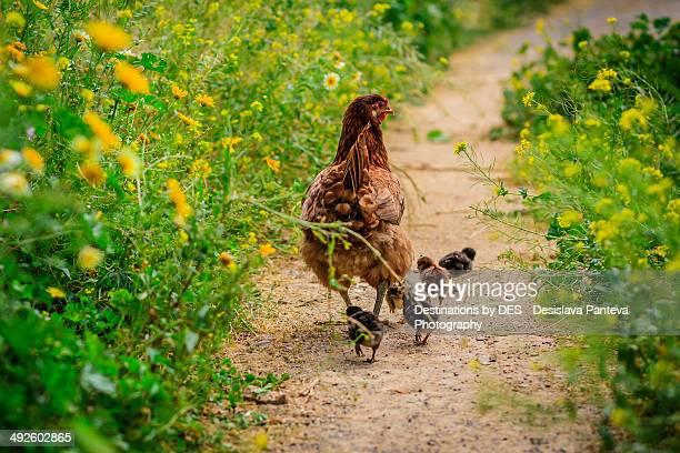 Hen with her small  newborn chicks